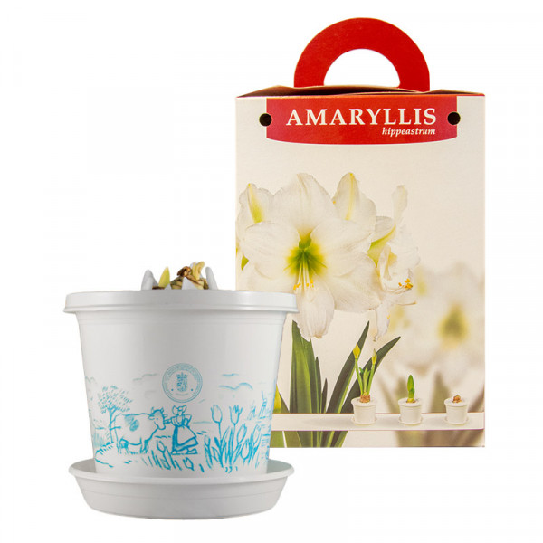 Amaryllis Arctic Nymph in pot and in giftbox