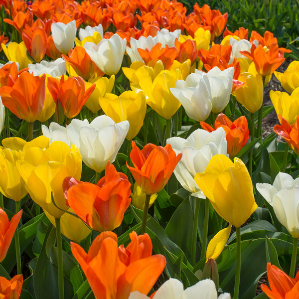Flower Bulb Collection DYNASTY OF EMPERORS