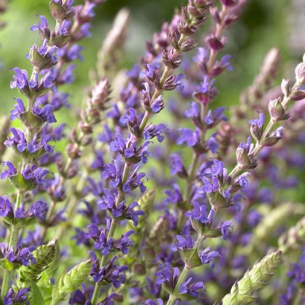Salvia nem. 'Ostfriesland', set of 3 plants, price is per plant