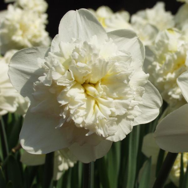 Daffodil Ice King