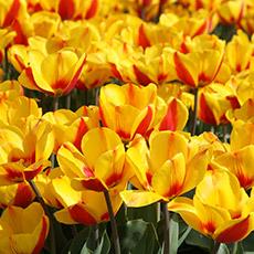 Alles-Over-Tulpen-enkel-vroeg