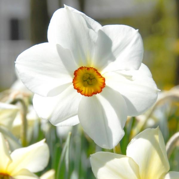 Daffodil Alb Plenus Odoratus