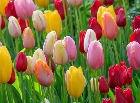 Alles-Over-Tulpen-Thumb