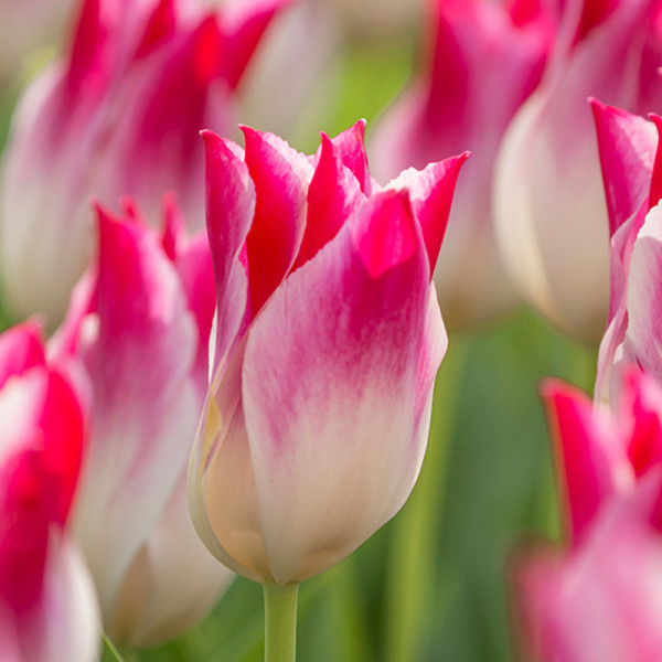 Tulp Whispering Dream