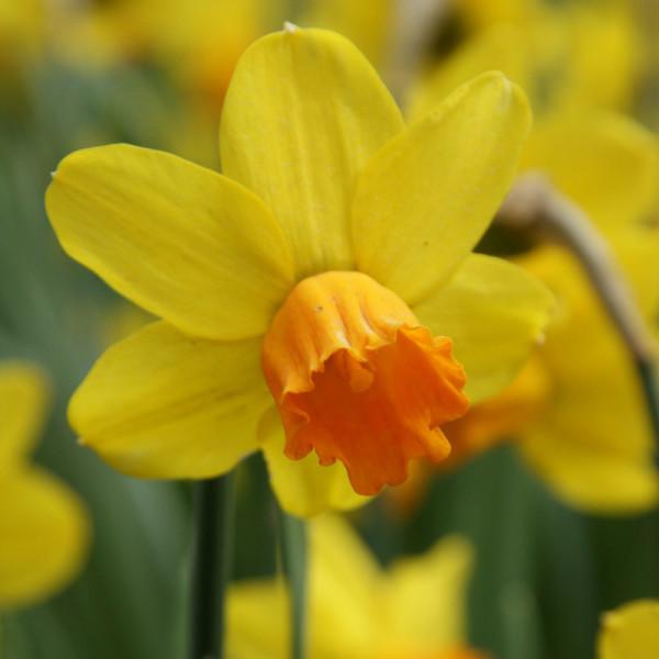 Daffodil Jetfire
