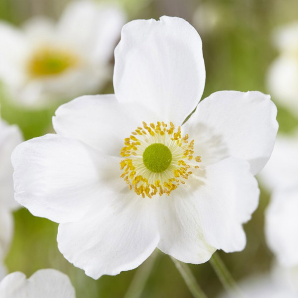 Anemone hybr. 'Hon. Jobert', set of 3 plants, price is per plant