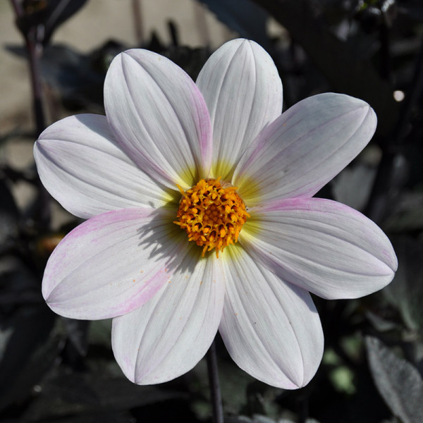 Dahlia Dahlegria White