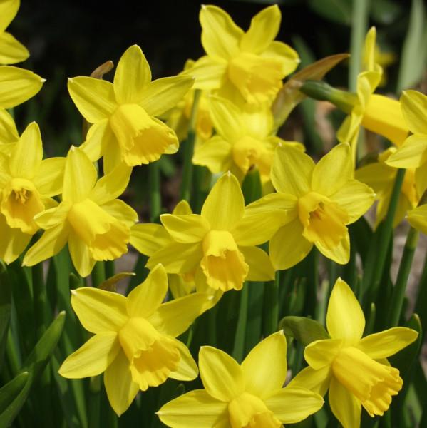 Daffodil Tête á Tête