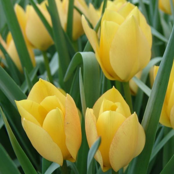 Tulip batalinii Bright Gem