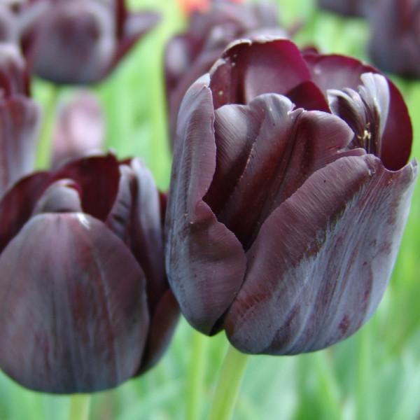 Tulip Paul Scherer