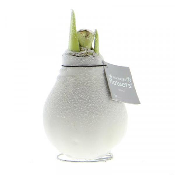 Wax Amaryllis White with Snow