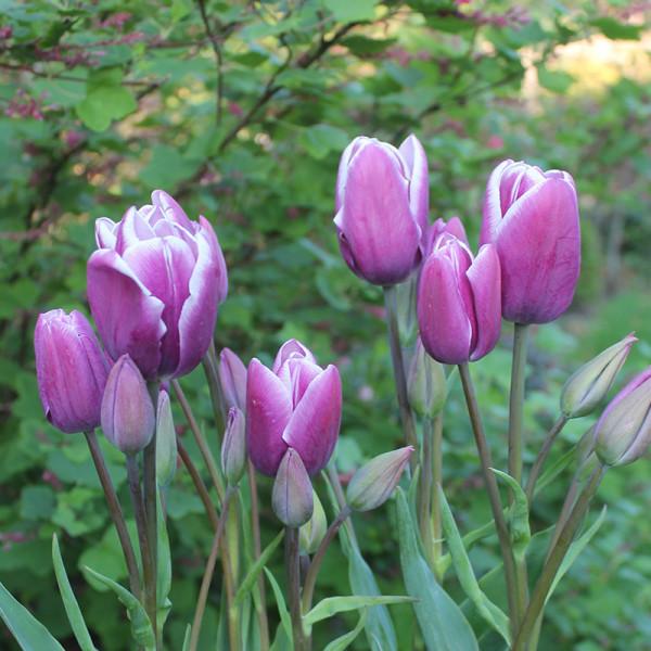 Tulip Purple Elegance