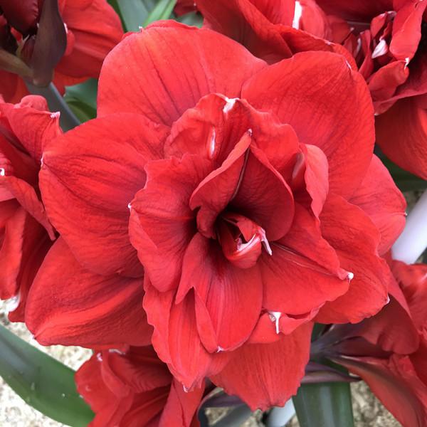 Amaryllis Amarantia® 24/26 , à 2