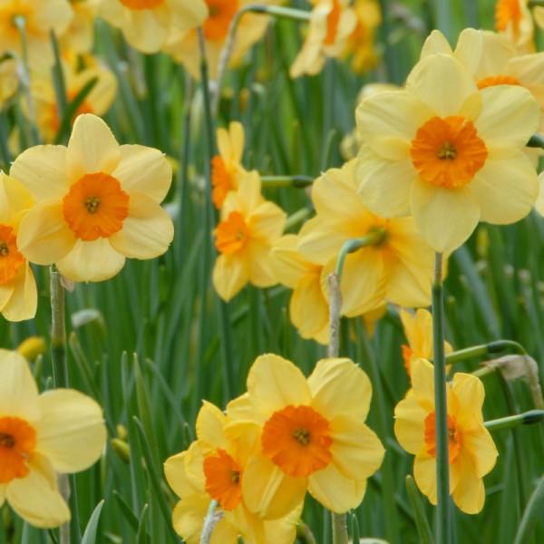 Daffodil Kedron
