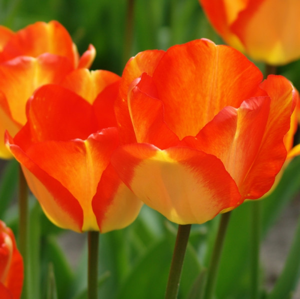 Tulip American Dream