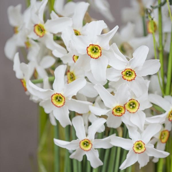 Daffodil Recurvus