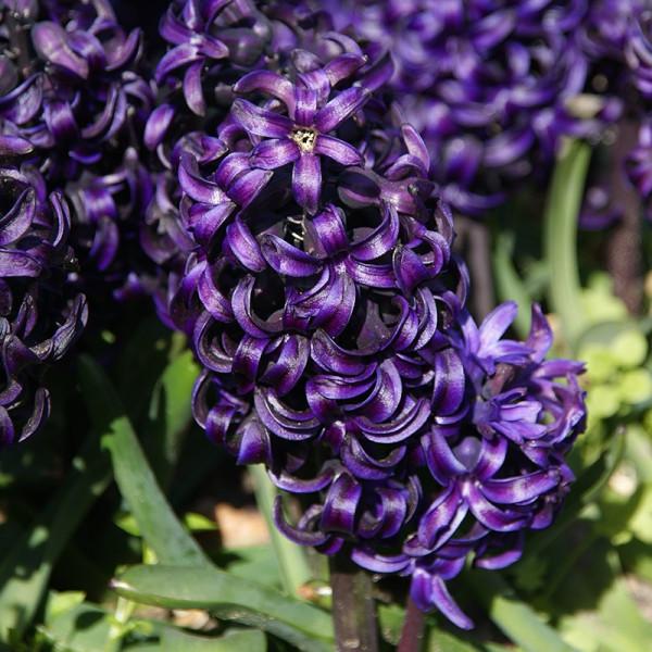 Hyacinth Pacific Ocean®