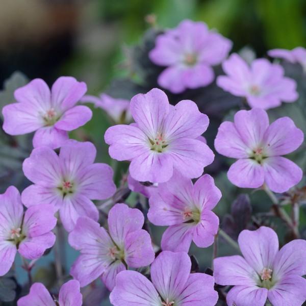 Geranium 'Dusky Crûg' set of 3 plants, price is per plant