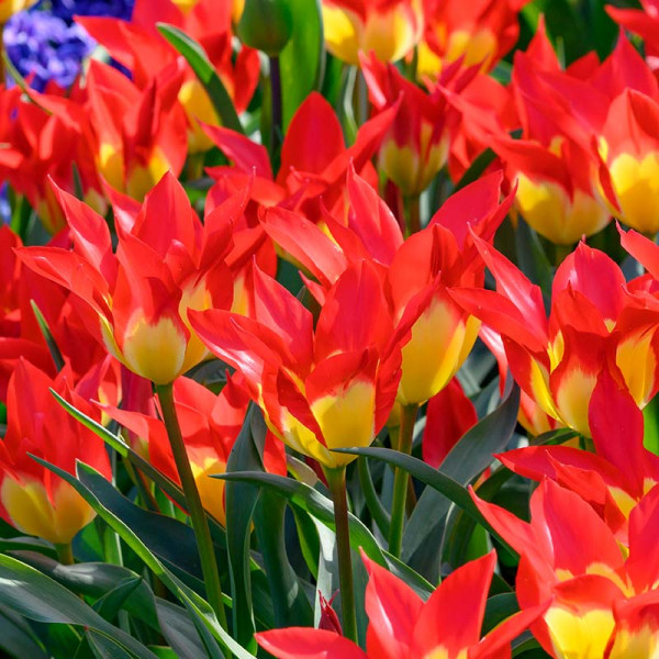 Tulip Flames Mystery
