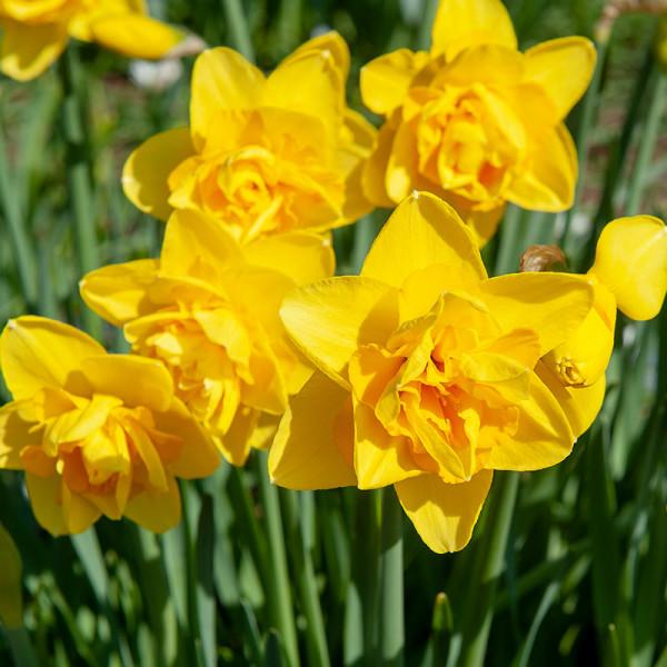 Daffodil Dick Wilden