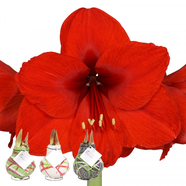 Wax Amaryllis Collection Picasso