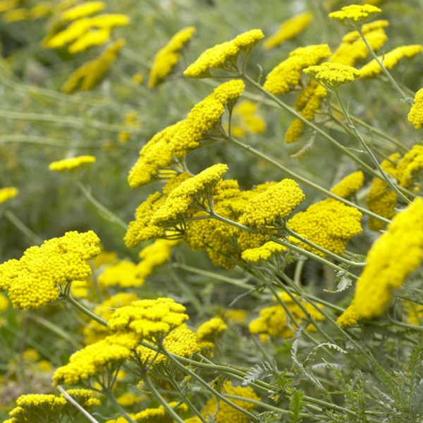 Achillea fil. 'Cloth of Gold'