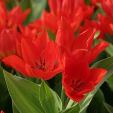 Alles-Over-Tulpen-meerbloemig