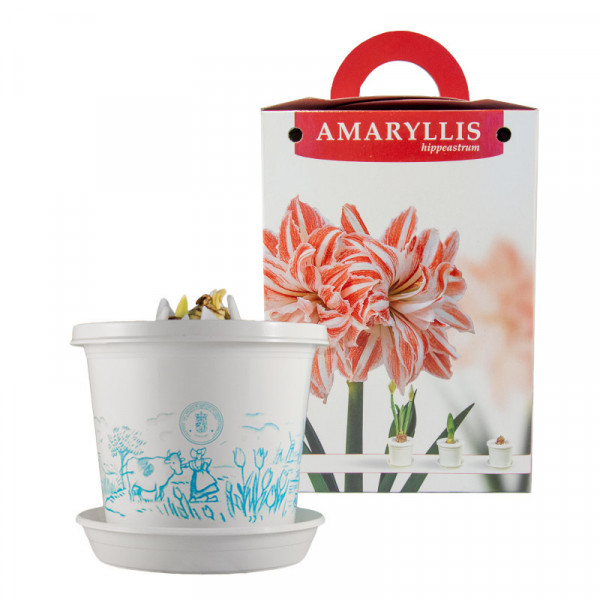 Amaryllis Dancing Queen in pot and in giftbox