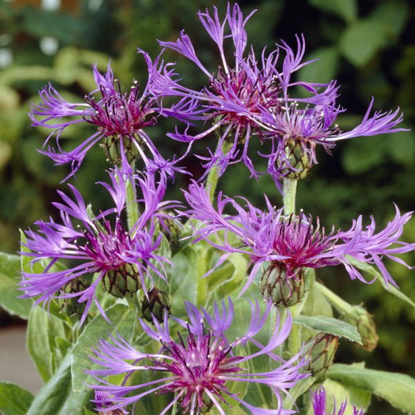 Centaurea montana 'Grandiflora', Set of 3 plants, price is per plant