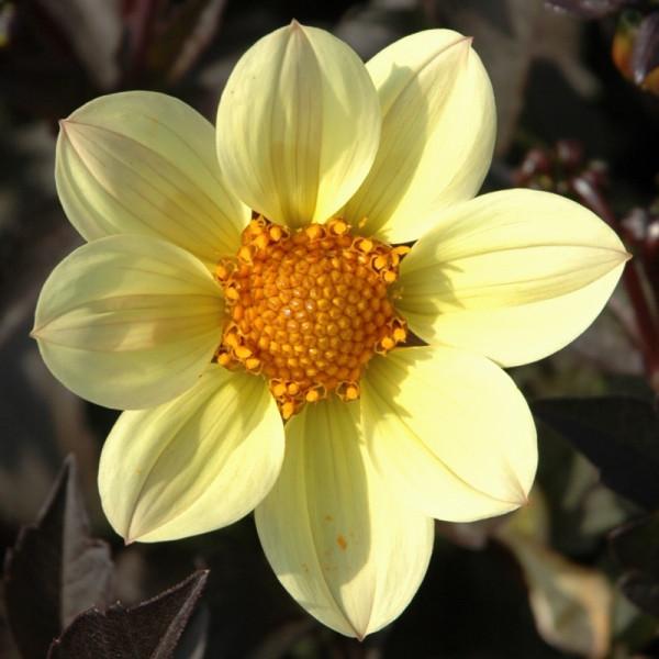 Dahlia Happy Days Lemon