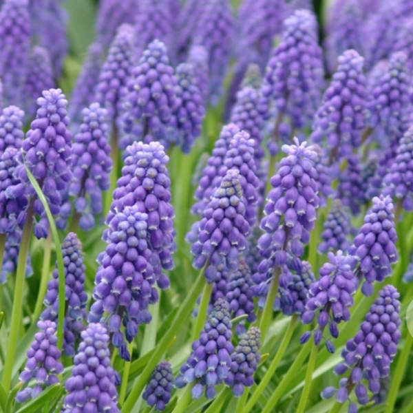 XL-Pack Muscari Armeniacum