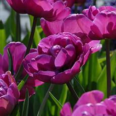 Alles-Over-Tulpen-dubbel-laat