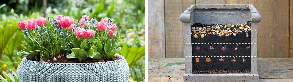 Bloembollen-planten-in-pot
