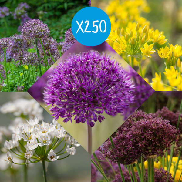 Bloembollenpakket Alliums, à 250