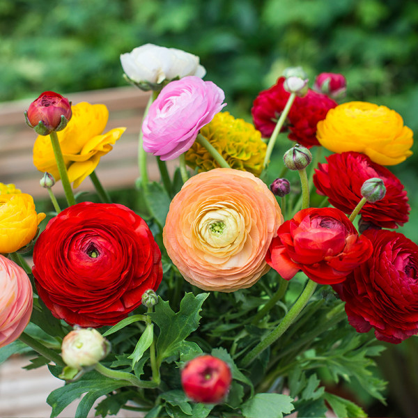 Ranunculus Aviv mixed
