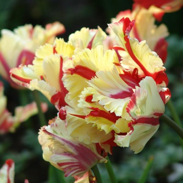 Tulip Flaming Parrot