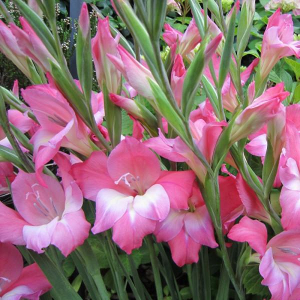 Gladiolus Charming Beauty