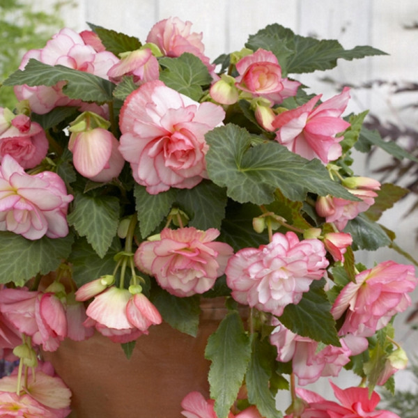Begonia pendula pink