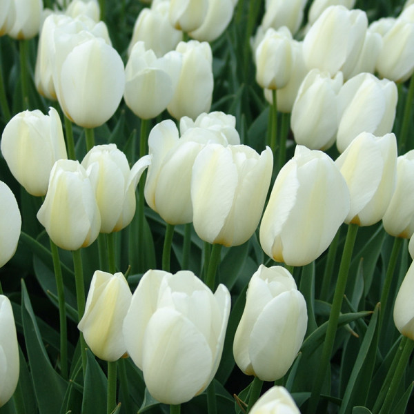 XL-Pack Tulip Pays Bas®