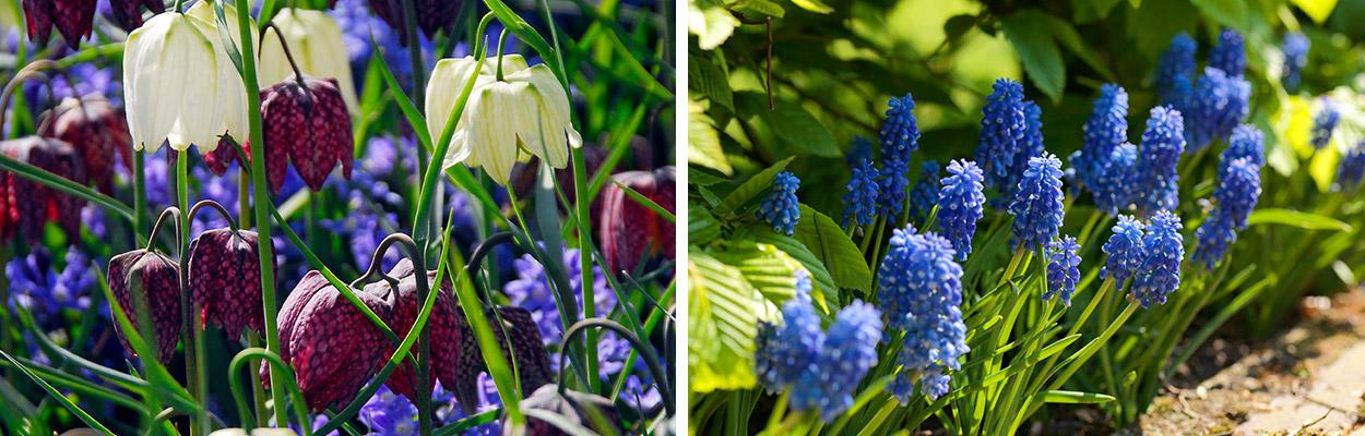 Naturalising flower bulbs