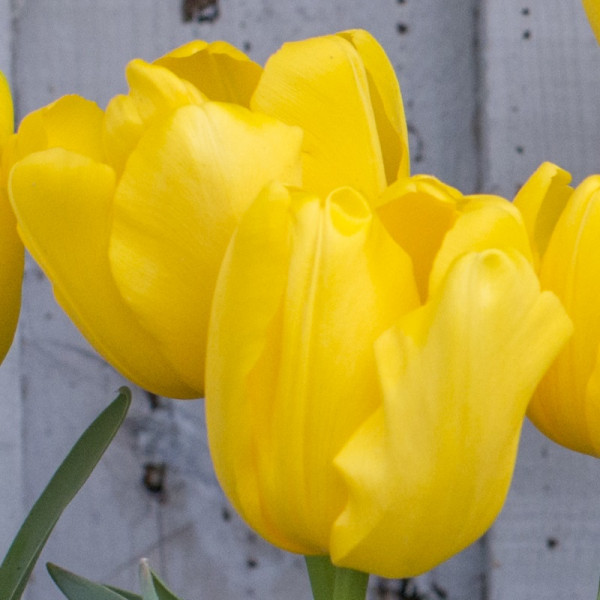 Tulip Yellow Baby