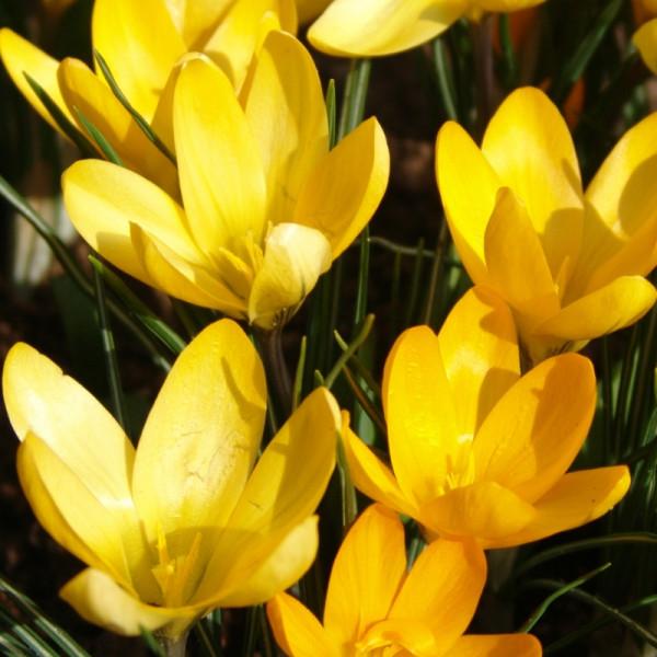 Crocus Golden Yellow