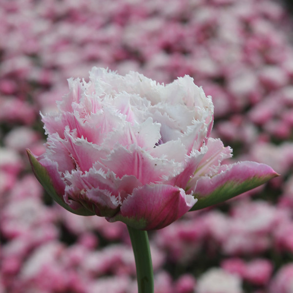 Tulip Sugar Crystal