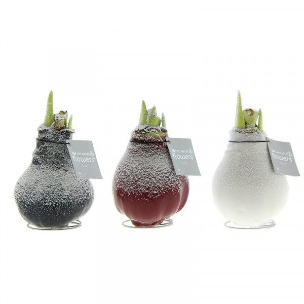 Wax Amaryllis Collection with snow