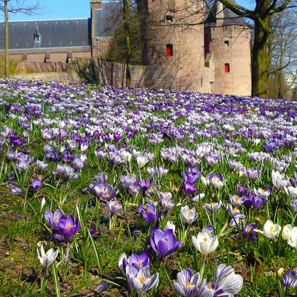 Flower Bulb Collection BLUE GRASS 500