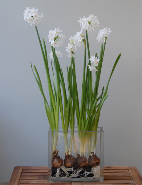 Daffodil Ziva
