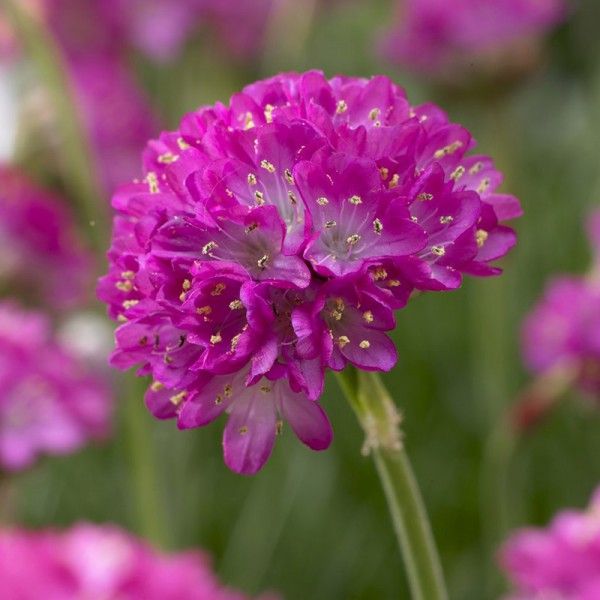 Armeria mar. 'Splendens Perfecta'