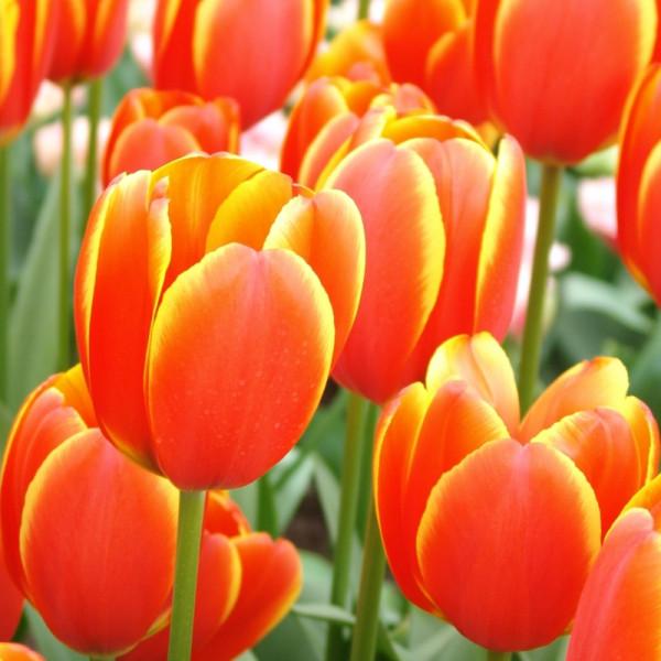 Tulip World's Favourite