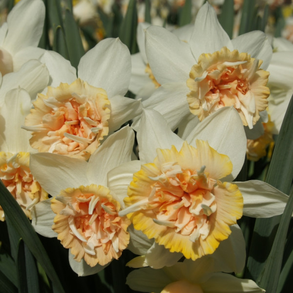 Daffodil Petit Four