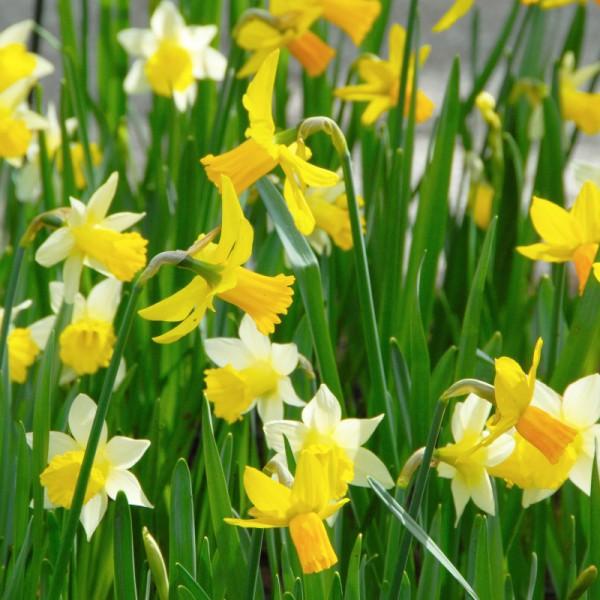 Daffodil Miniature Mix